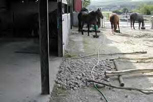 horses in natural herd situation