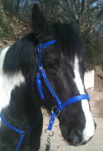 Archer blue Dr Cook Bitless Bridle