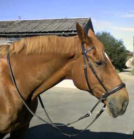 Nocky in his leather Bitless Bridle