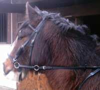 Conner in his beta bitless bridle