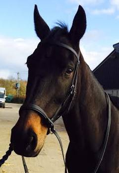 Spencer in his Dr Cook Bitless Bridle