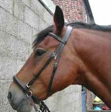 Spencer in his padded leather bitless bridle